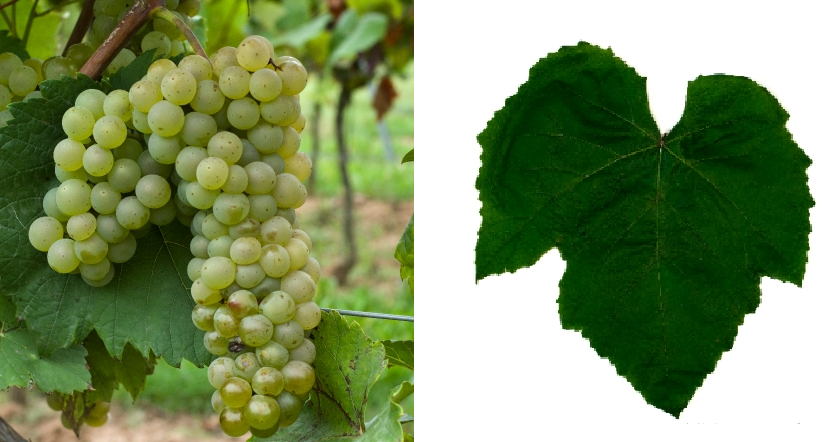 Edelweiss - grape and leaf