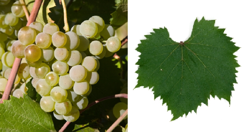 Espüirit - grape and leaf