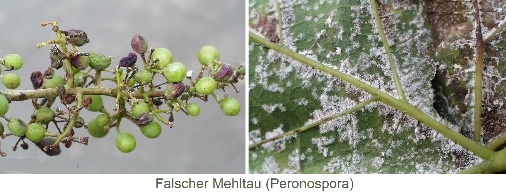Downy mildew (Peronospora) - symptoms on grape and leaf