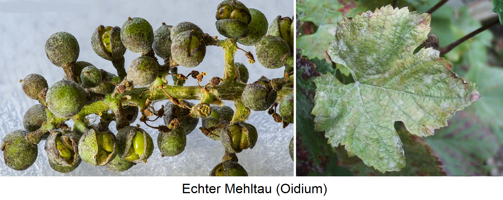 Common mildew (Oidium) - symptoms on white grape and leaf