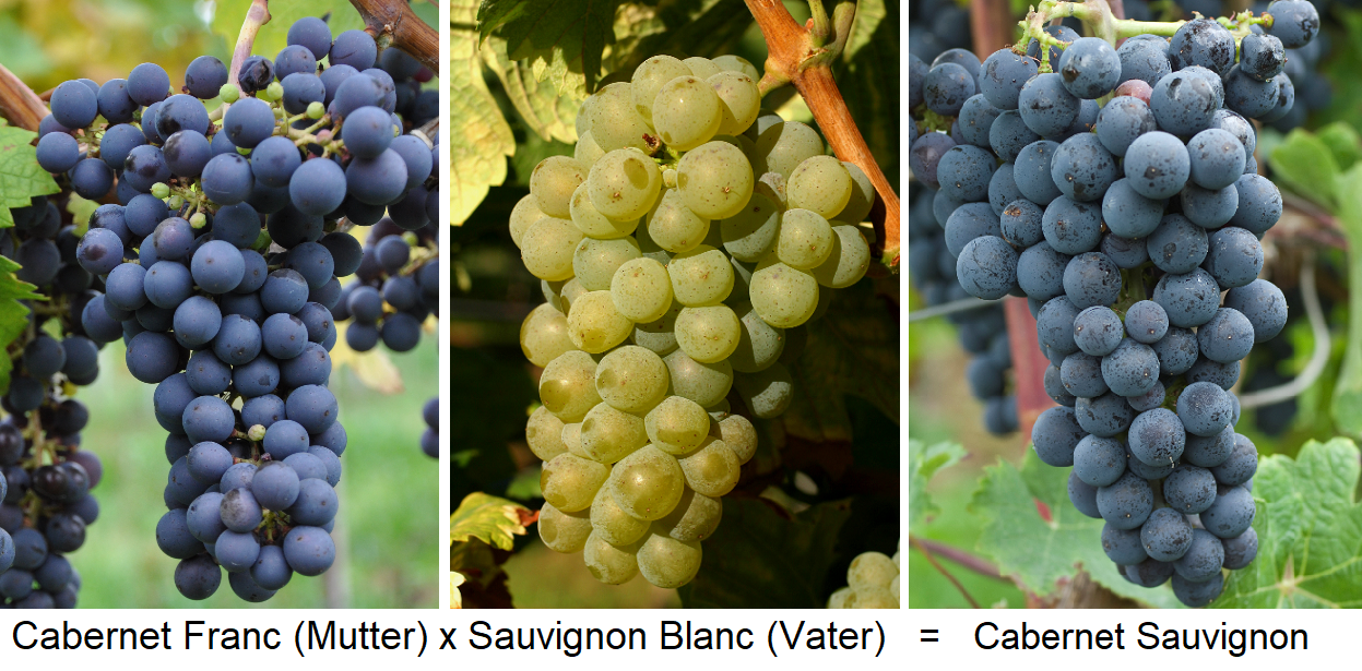 Cabernet Sauvignon - crossing Cabernet Franc (mother) x Sauvignon Blanc (father)