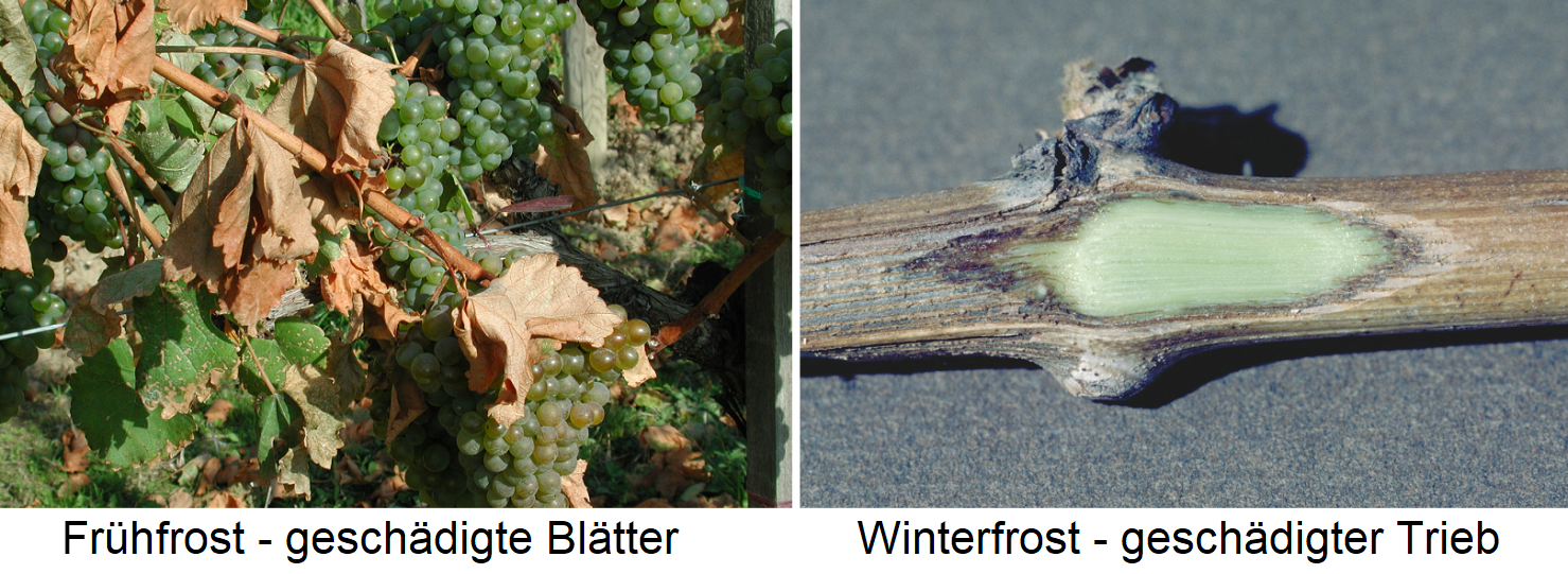 Frost - early frost with damaged leaves and winter frost with damaged shoots