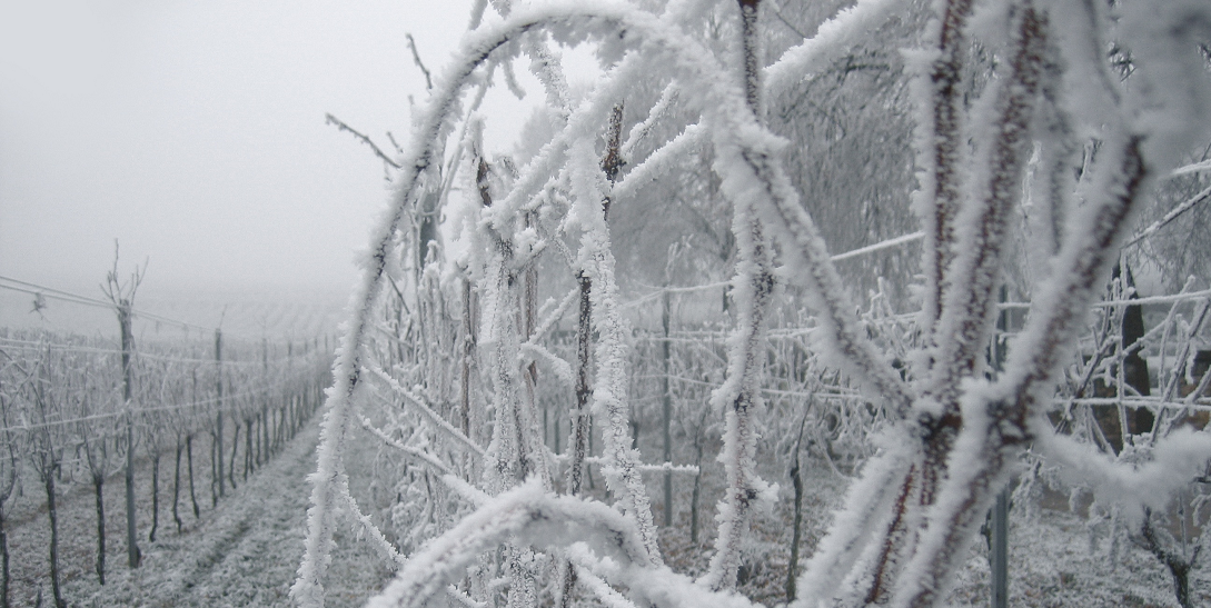 Frost - vineyard with ice-covered vines