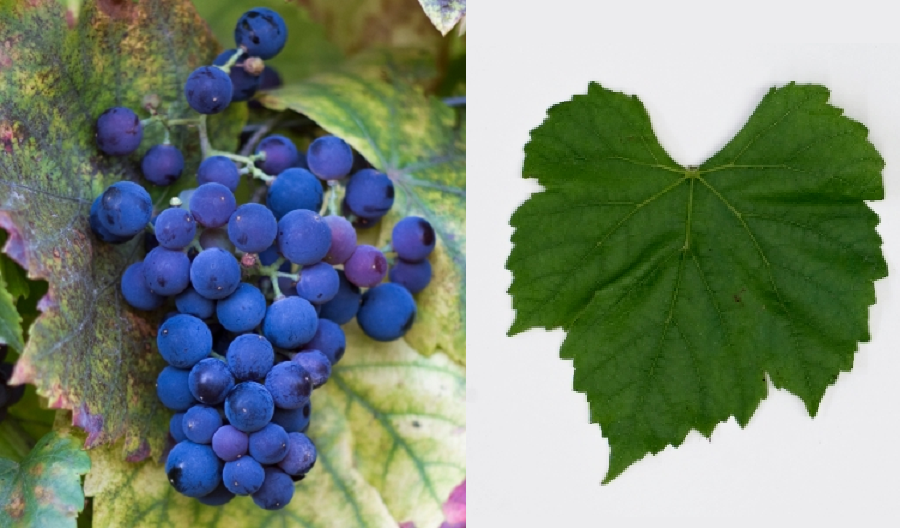 Terras 20 - grape and leaf