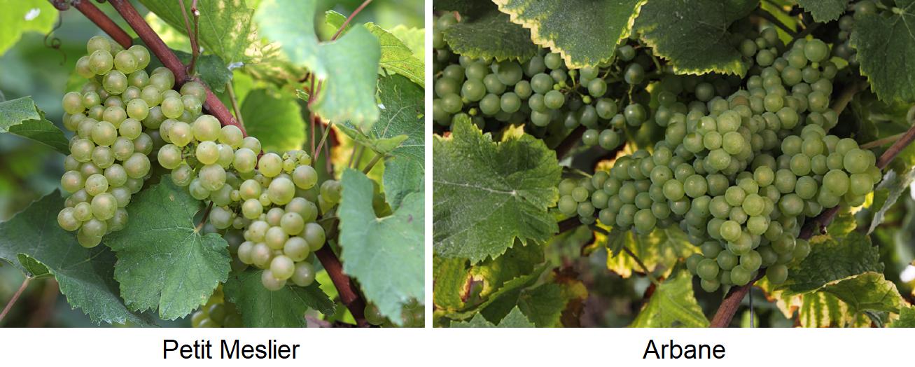 Petit Meslier and Arbane - grapes