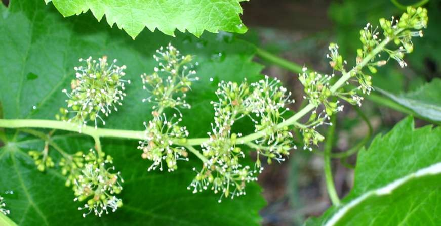 Sprinkle - inflorescence of a grape