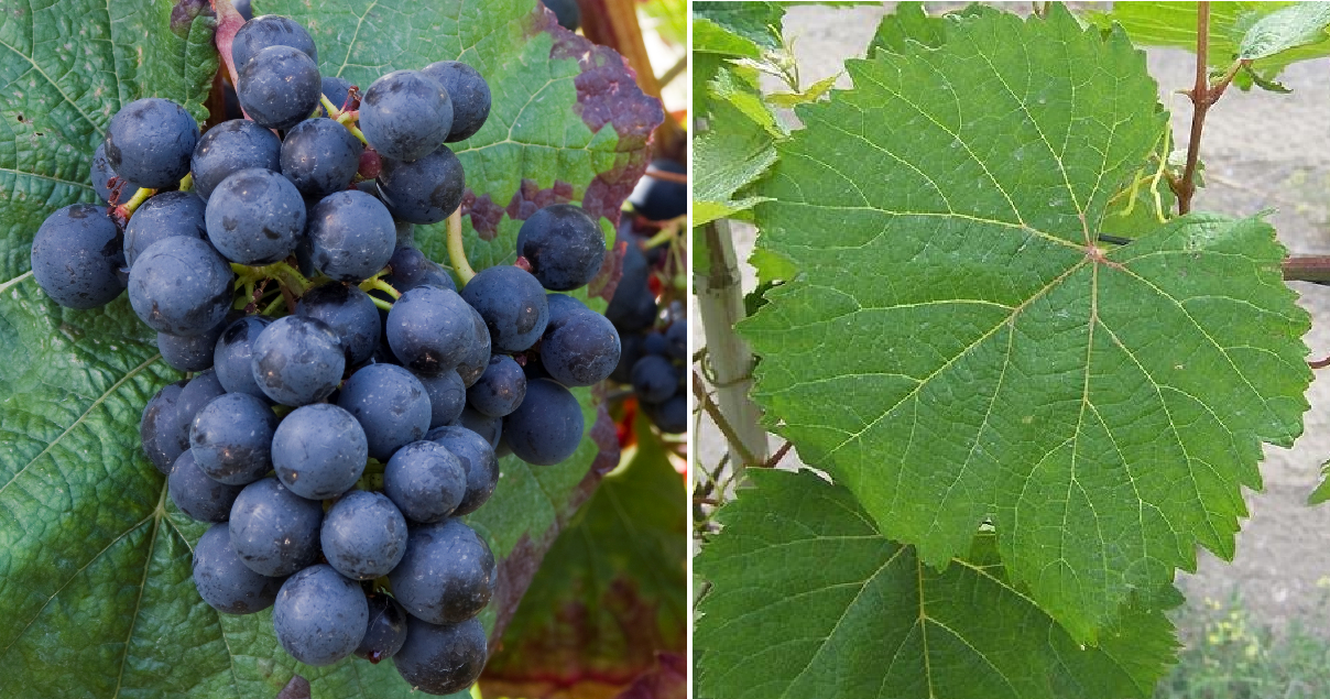 Cot (Malbec) - grape and leaf