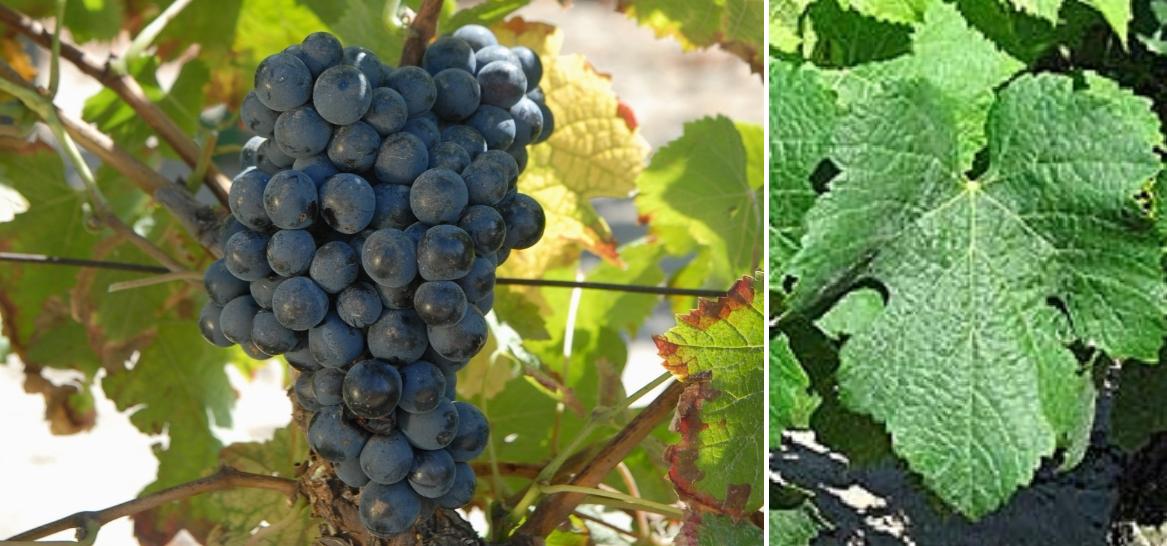 Magdeleine Noire des Charentes - grape and leaf