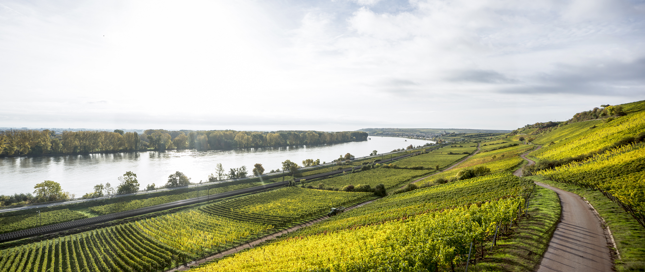 Pettenthal - vineyards next to the Rhine