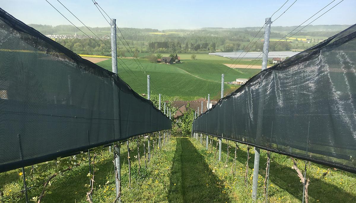 Insekten - Schutznetz im Weingarten
