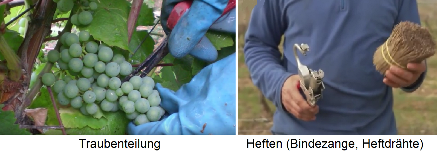 Weingartenpflege - grape division and binding
