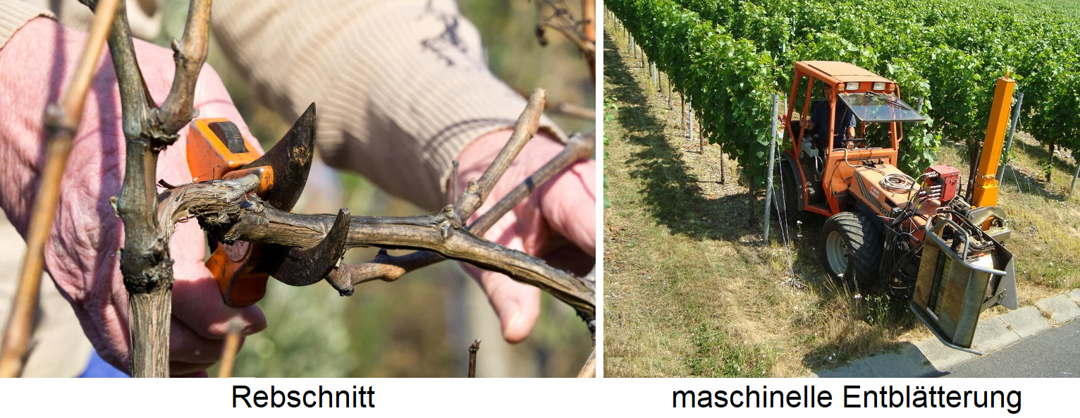 Weingartenpflege - pruning and mechanical defoliation