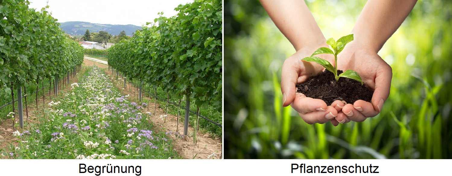 Vineyard maintenance - greening and plant protection