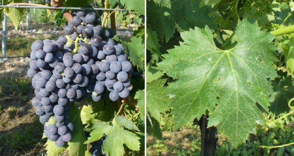 Corvonone - grape and leaf
