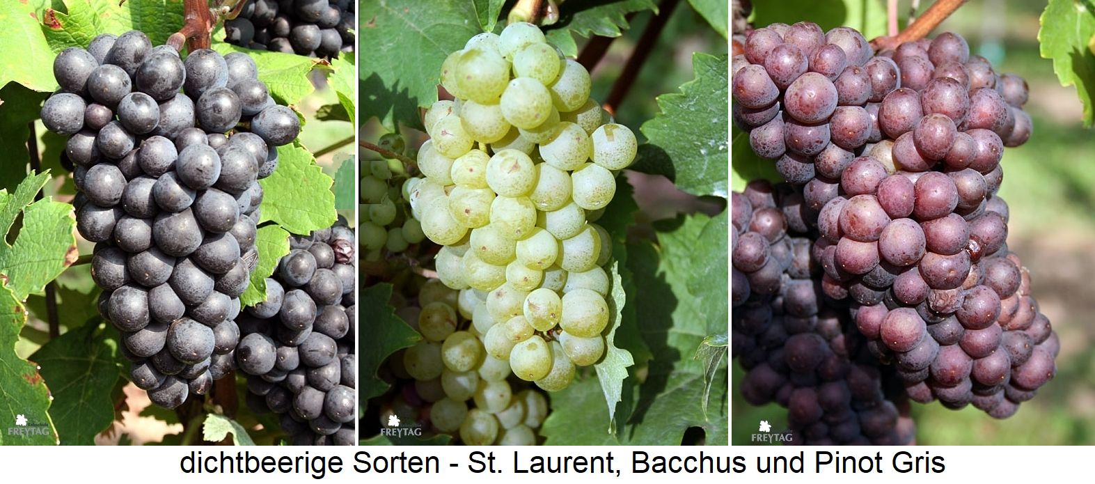 dense berries of St. Laurent, Bacchus and Pinot Gris