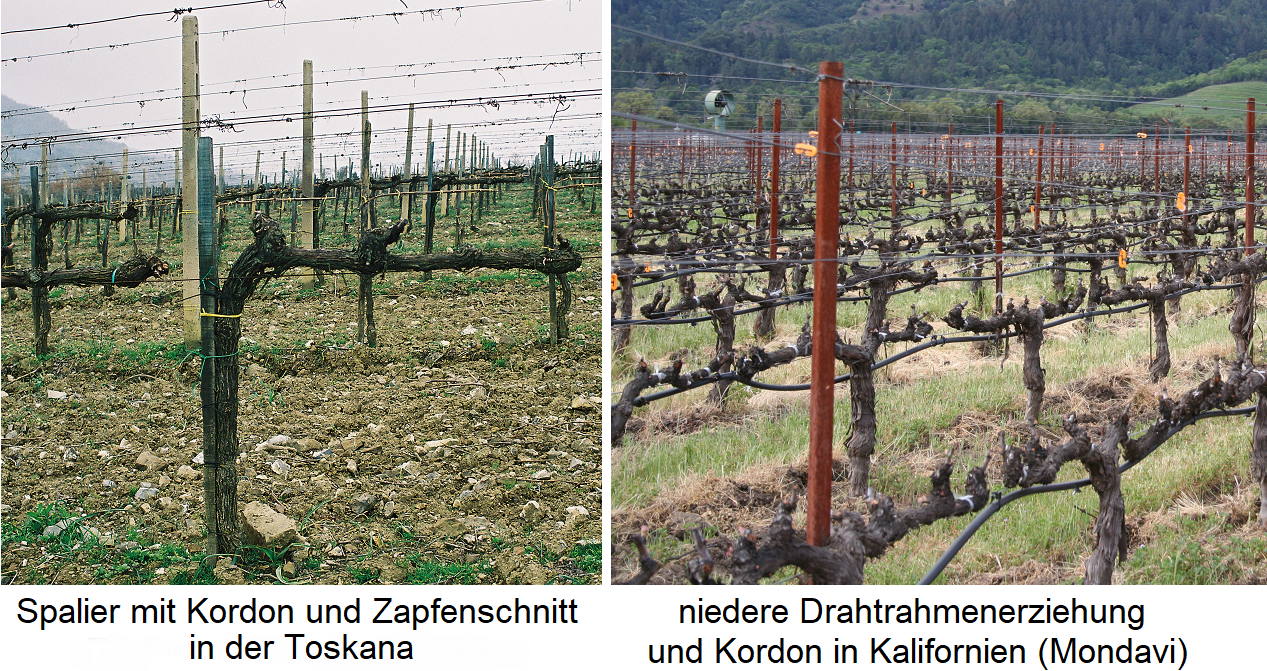 Kordon - Trellis with cordon and cone cut (Tuscany) and low wire frame education with cordon (California, Mondavi)
