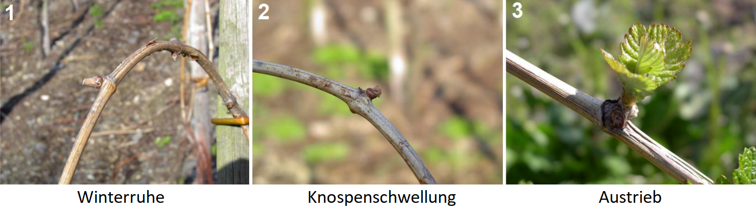 1. hibernation, 2. bud swelling, 3. shoots