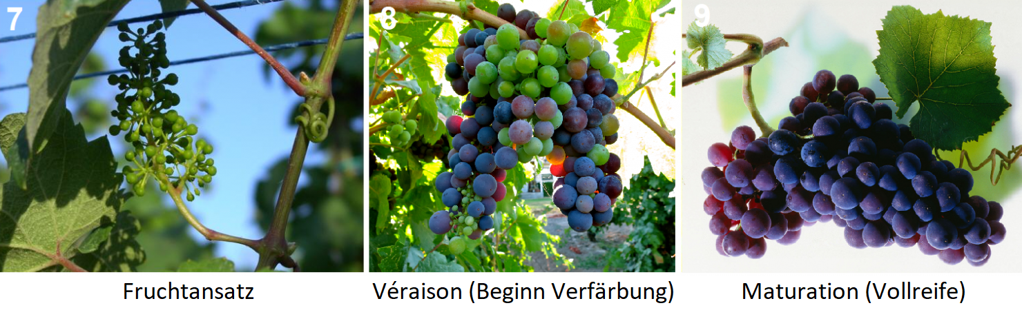 7. Fruit set, 8. Véraison, 9. Maturation