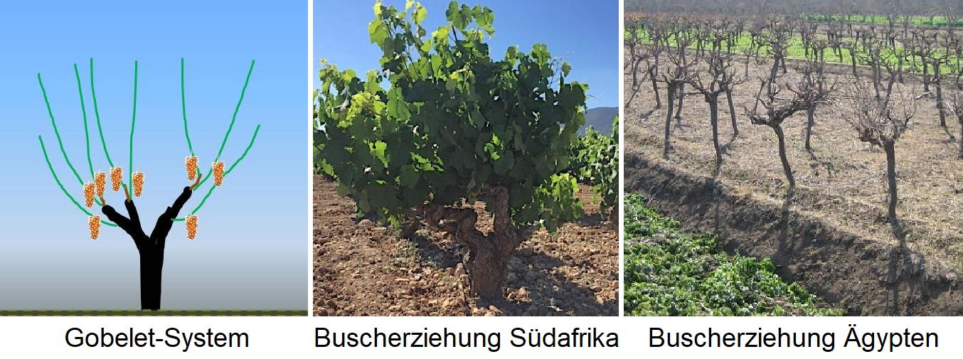 Gobelet - Gobelet system, bush education in South Africa, bush education in Egypt