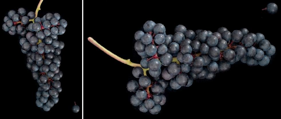 Wild Muscat - grape
