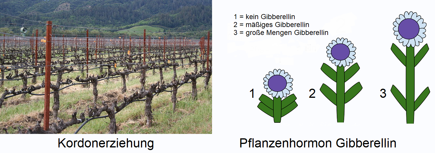 Weingartenpflege - Cordon Education and Plant Hormone Gibberellin