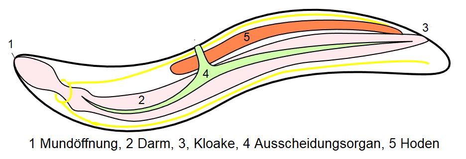 Nematoden - Graphik