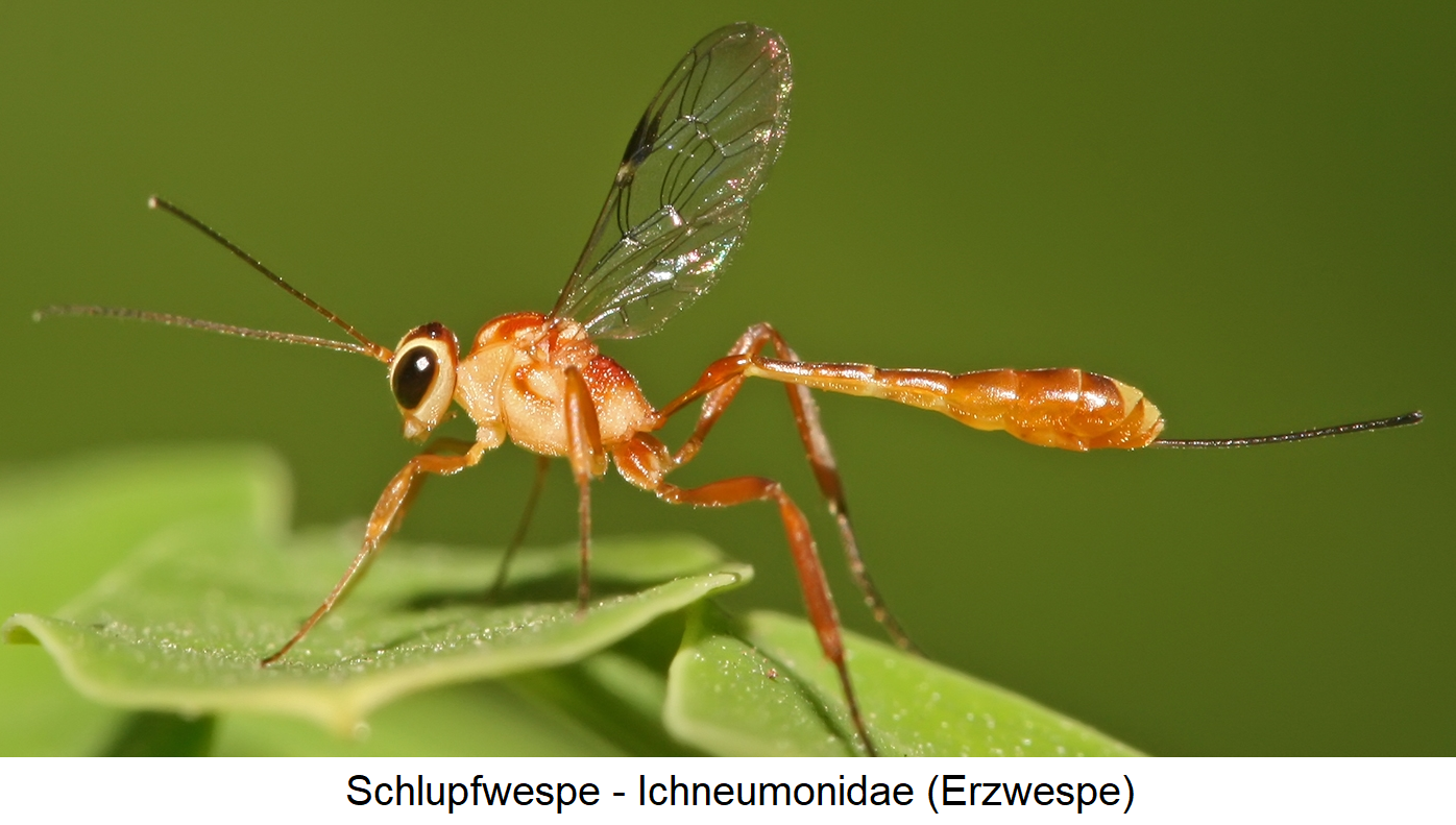 Wasp - Ichneumonidae (weevil)