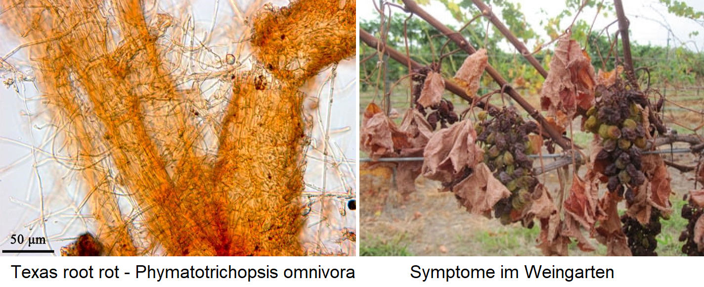 Texas root red - mushroom Phymatotrichopsis omnivora and symptoms in the vineyard
