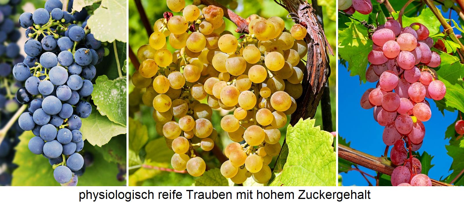Must weight - physiologically mature grapes with high sugar content