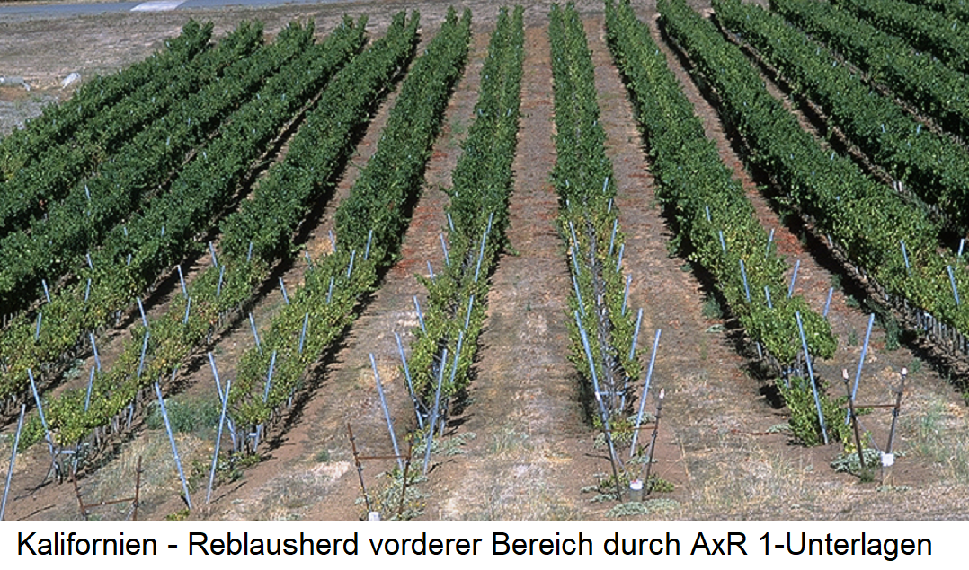AxR 1 - Weingarten in California with phylloxera damage in the front area