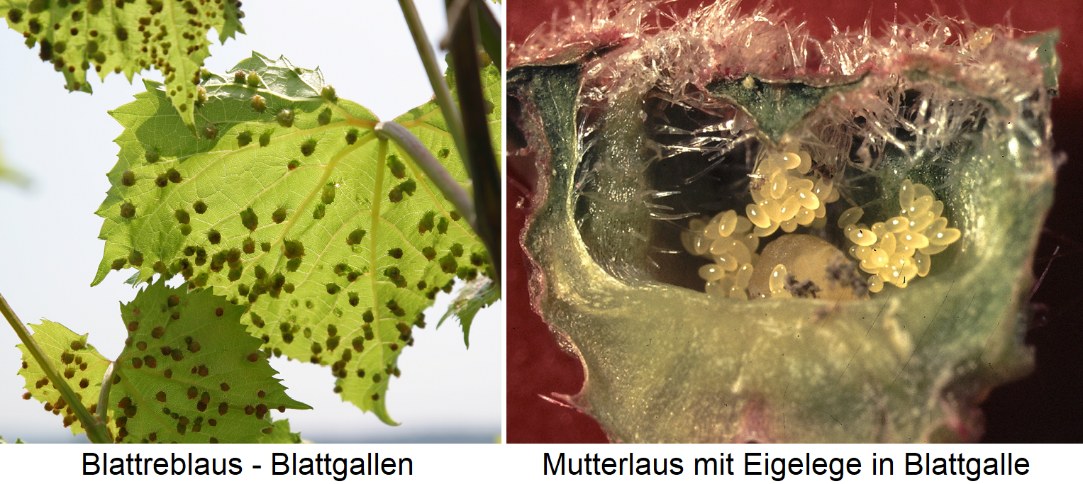 Blattreblaus - leaf galls and mother louse with Eigelege
