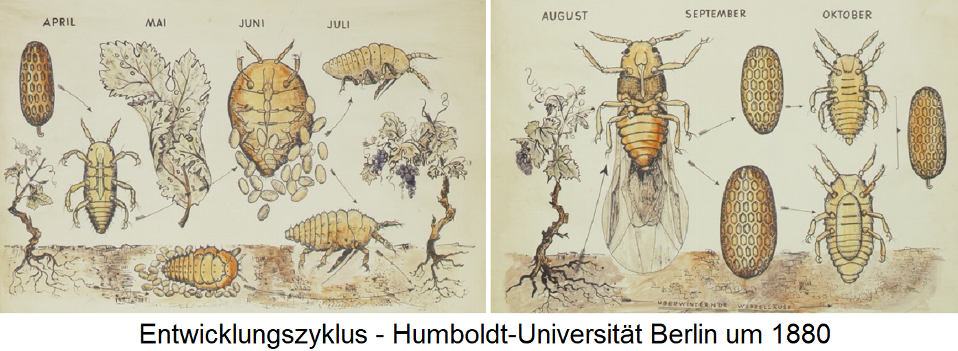 Phylloxera - Development cycle - Humboldt University Berlin around 1880
