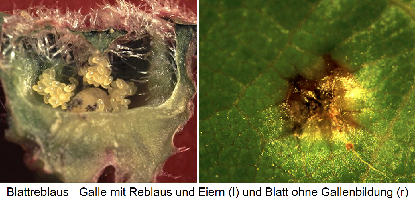 Resistance leaf phylloxera - bile with phylloxera and eggs and leaf without gall formation