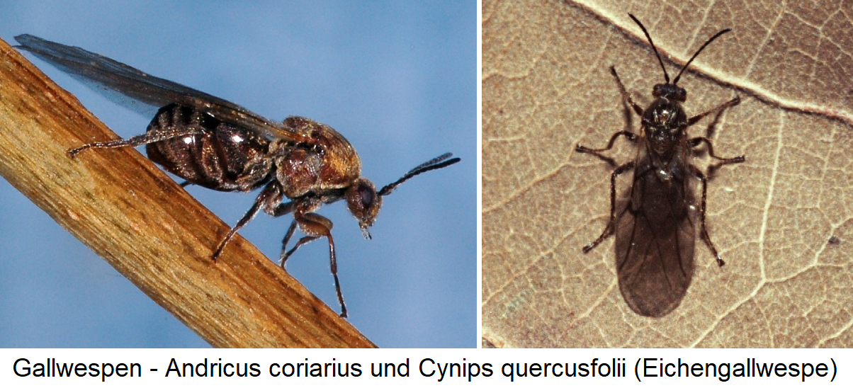 Gallwesoen - Andricus coriarius and Cynips Quercus quercusfolii (Eichengall wasp)