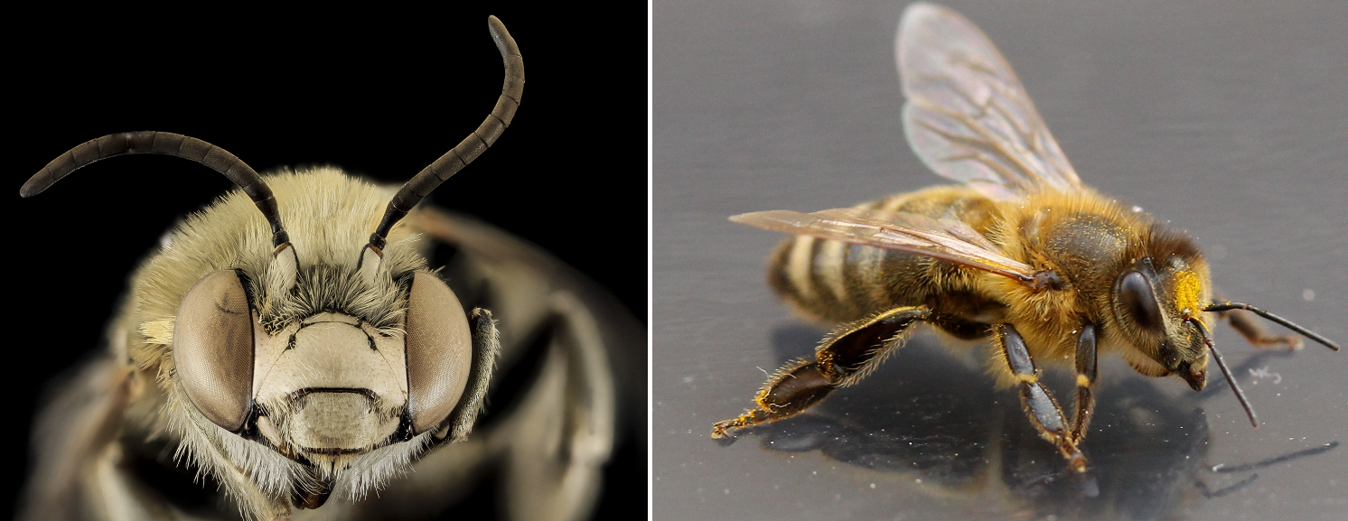 Biewnen - Bee head and overall view of a bee