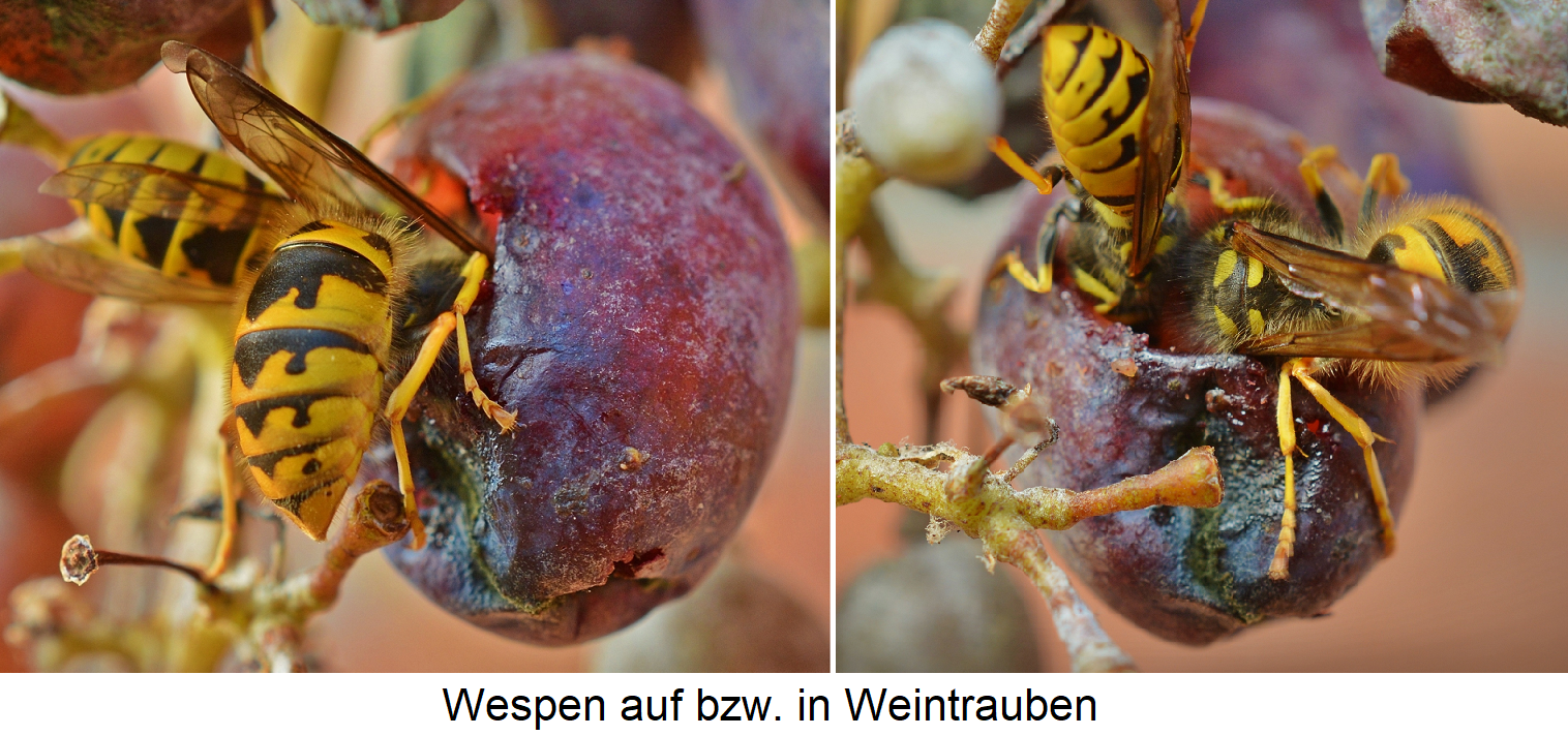 Wasps on grapes or head in berries