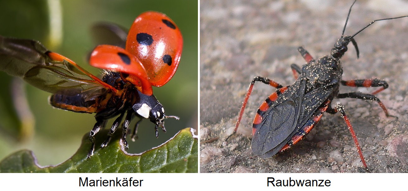 Beneficial insects - ladybird and predatory bug (murder bug)