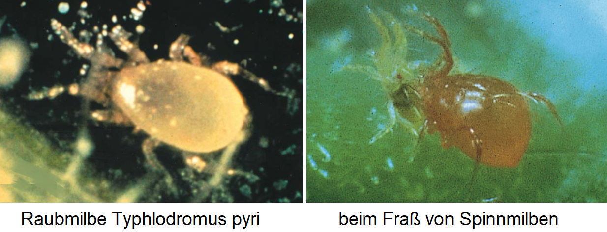 Rabbit mite Typhlodromus pyri - when eating spider mites