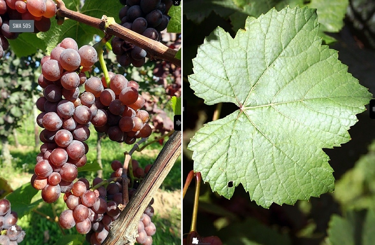 Pinot Gris - grape and leaf