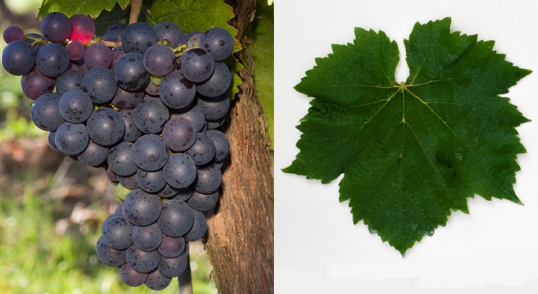 Ganson - grape and leaf
