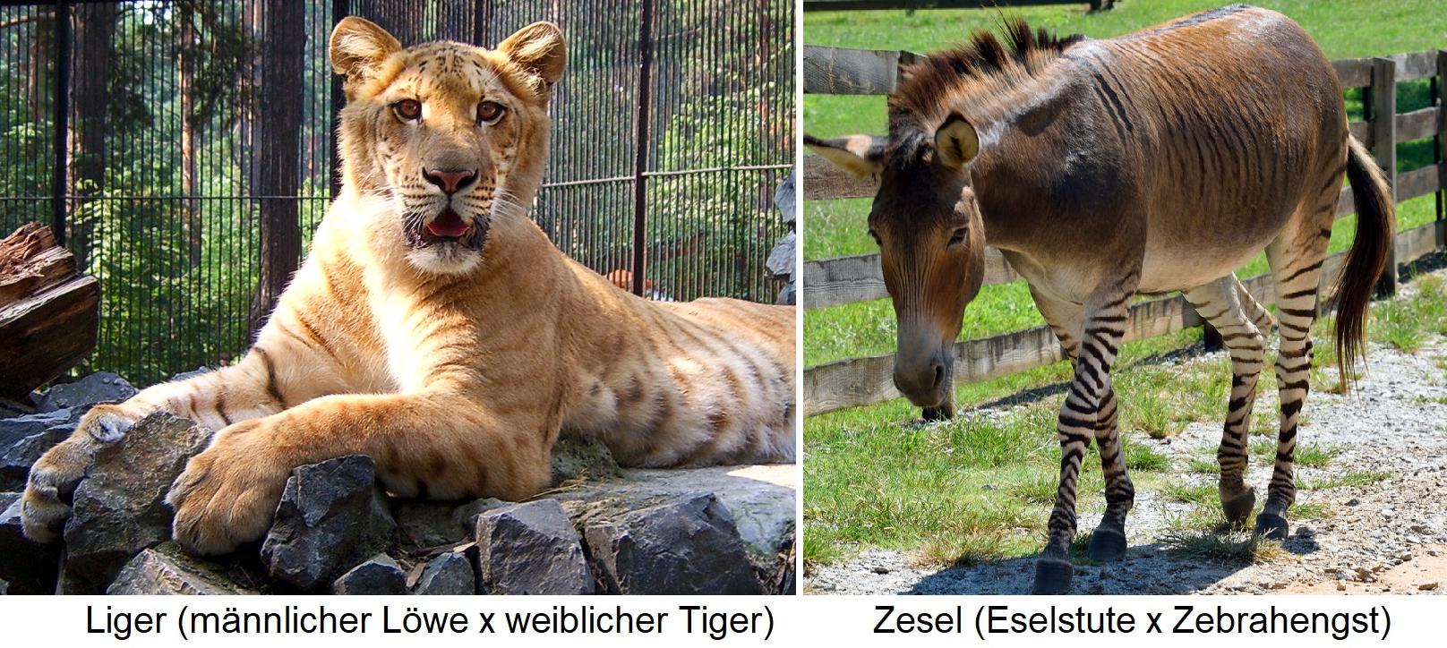 Hybriden Tiere - Liger (Löwe x Tiger) / Zesel (Zebra x Esel)