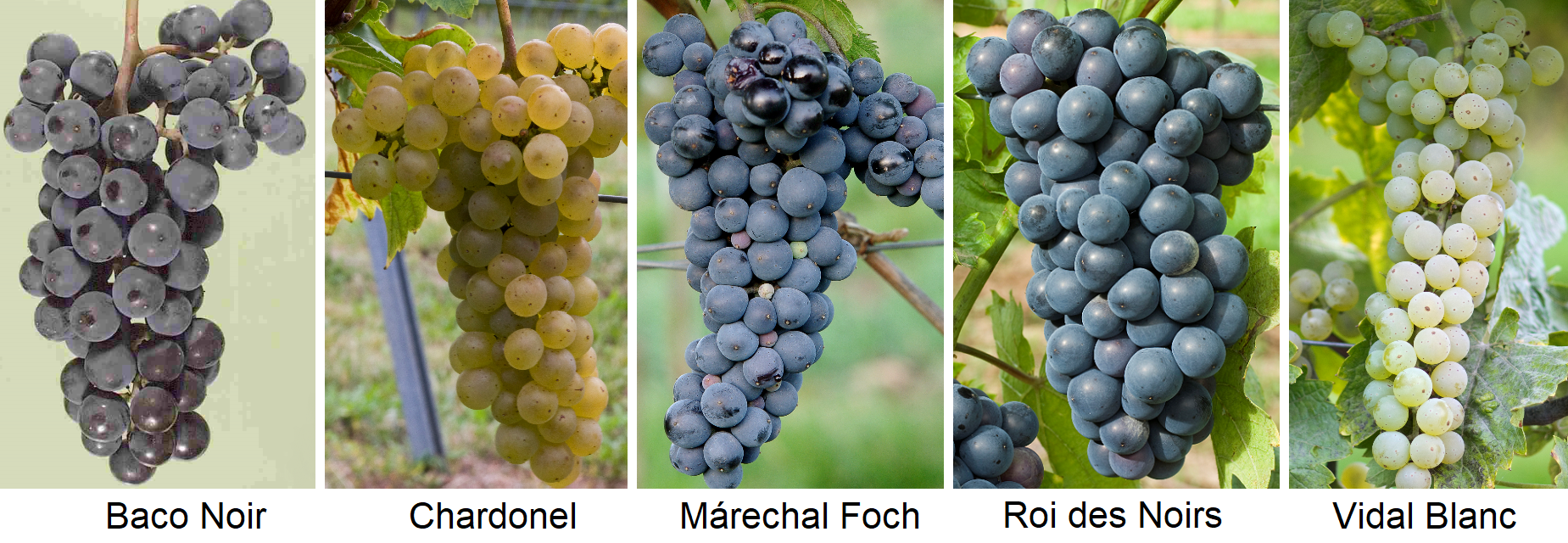 French hybrids: Baco Noir, Chardonel, Márechal Foch, Roi des Noirs, Vidal Blanc