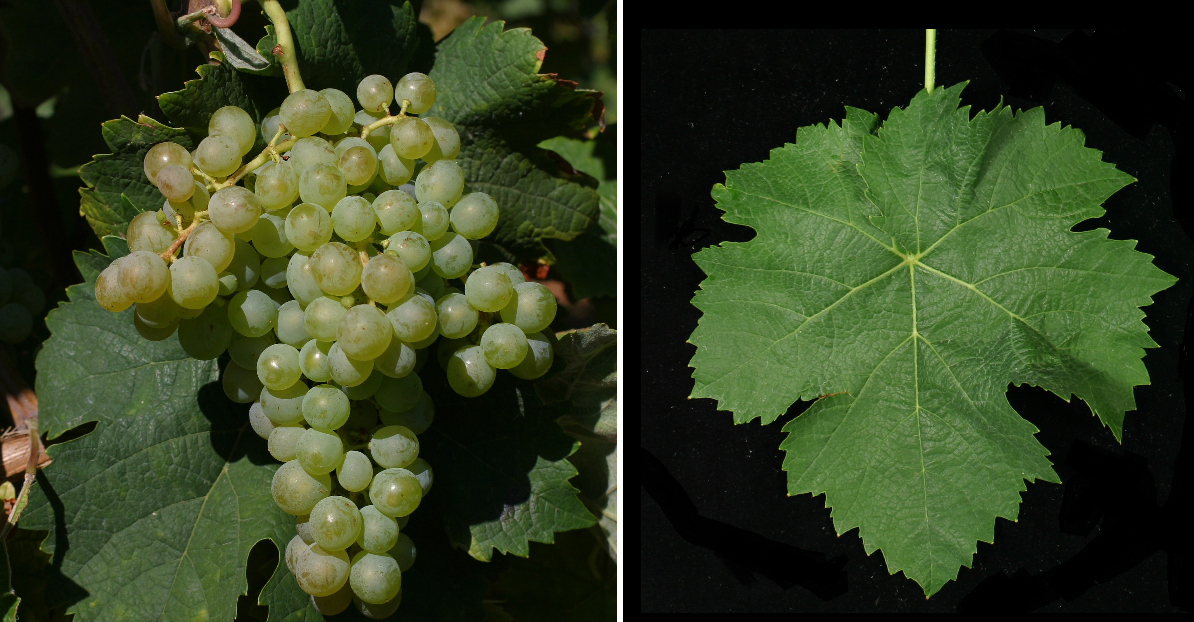 Clairette - grape and leaf