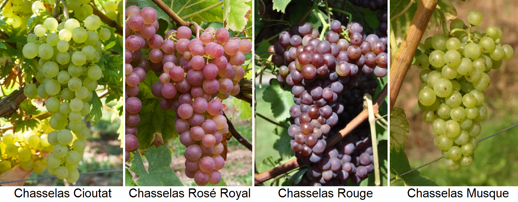 Chasselas - Chasselas Cioutat, Chasselas Rose Royal, Chasselas Rouge, Chasselas Musque