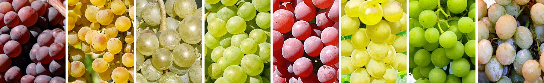 white - white wine grapes