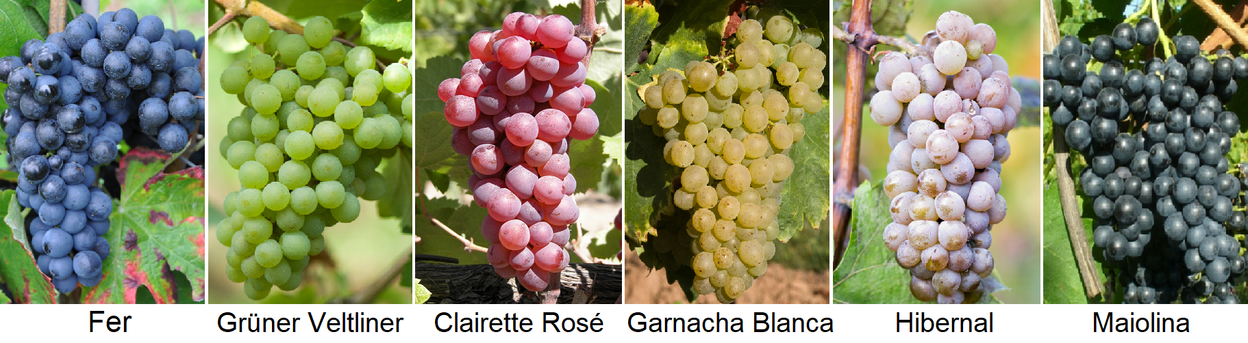 Grape Varieties - Fer, Grüner Veltliner, Clairette Rosé, Garnacha Blanca, Hibernal, Maiolina