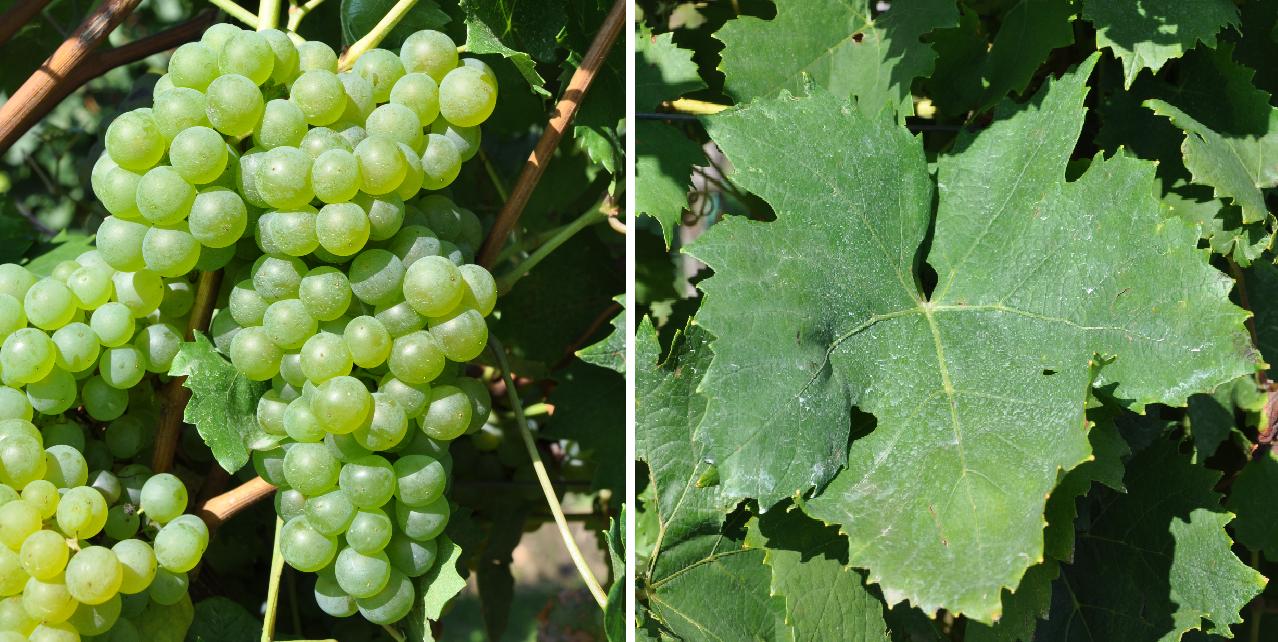 Barthainer - Weißer Barthainer - Weintraube und Blatt