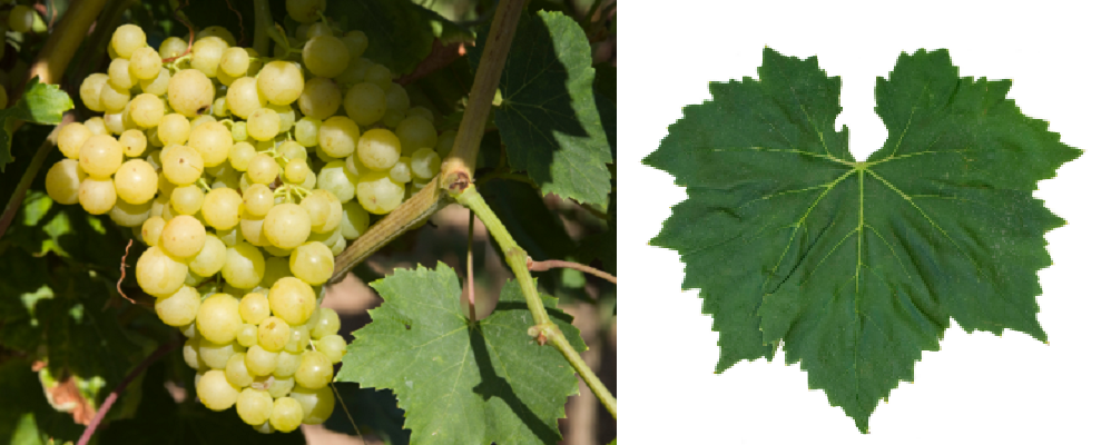 Perlette - bunch of grapes and leaf