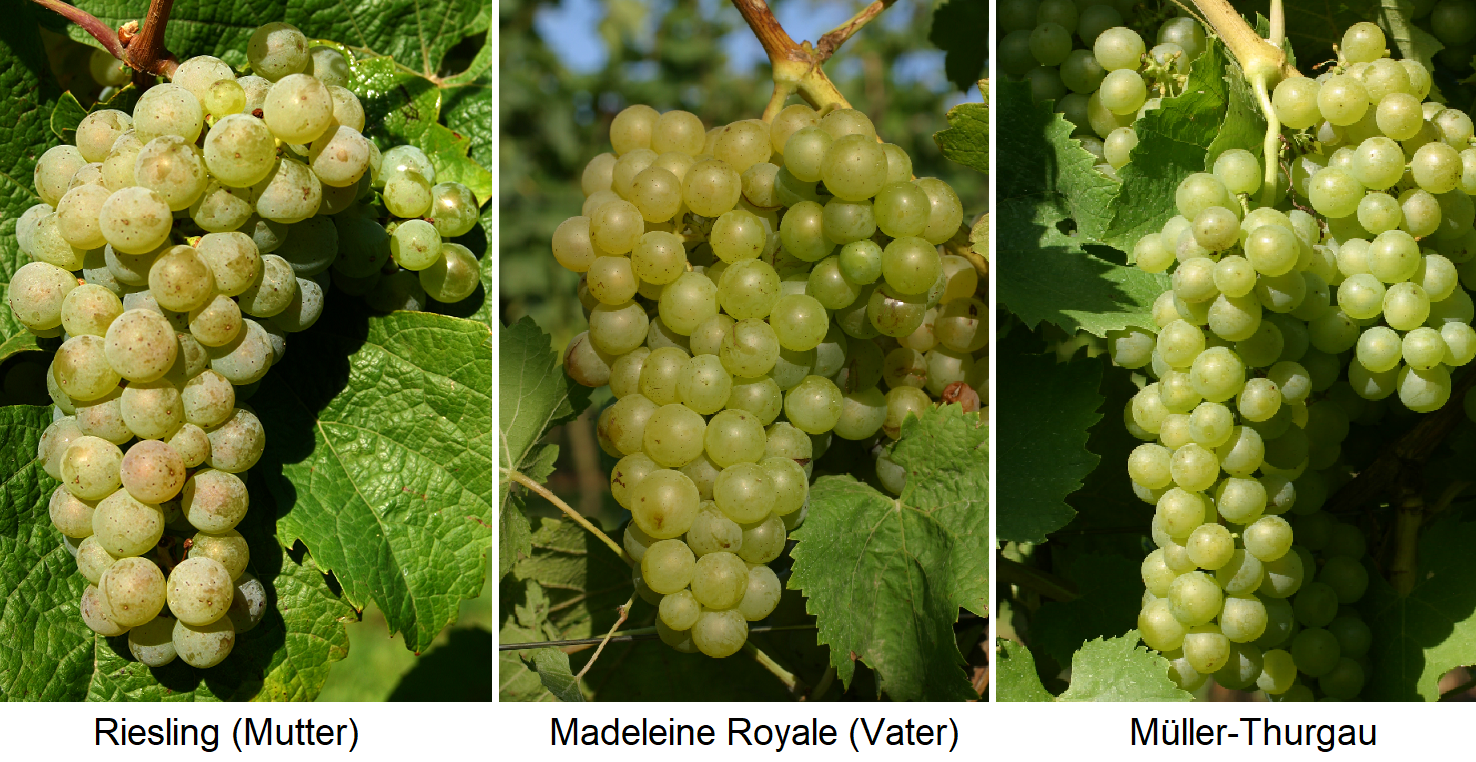 Riesling (mother) x Madeleine Royale (father) = Müller-Thurgau