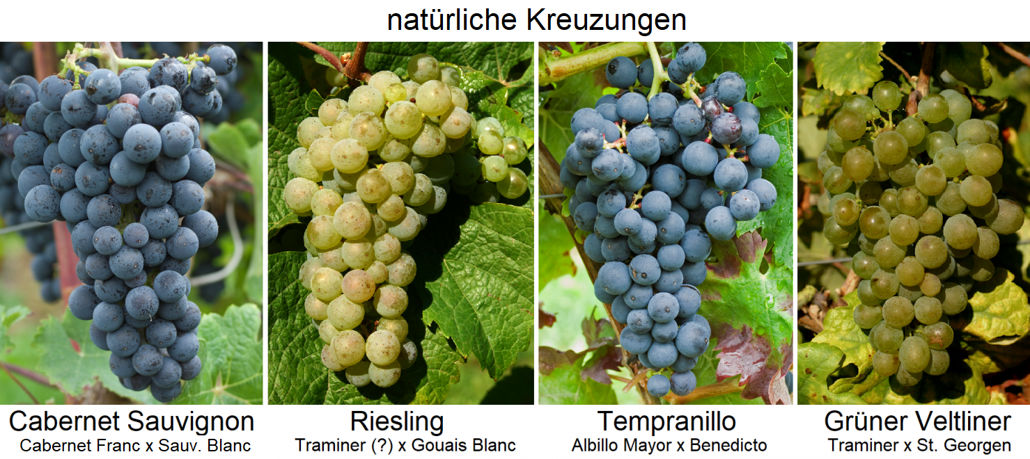 Crossing direction - natural crossings - Cabernet Sauvignon, Riesling, Tempranillo, Grüner Veltliner